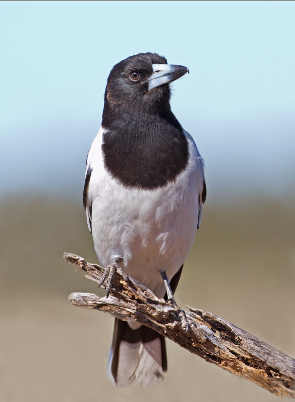 Pied Butcherbird 14   Copy