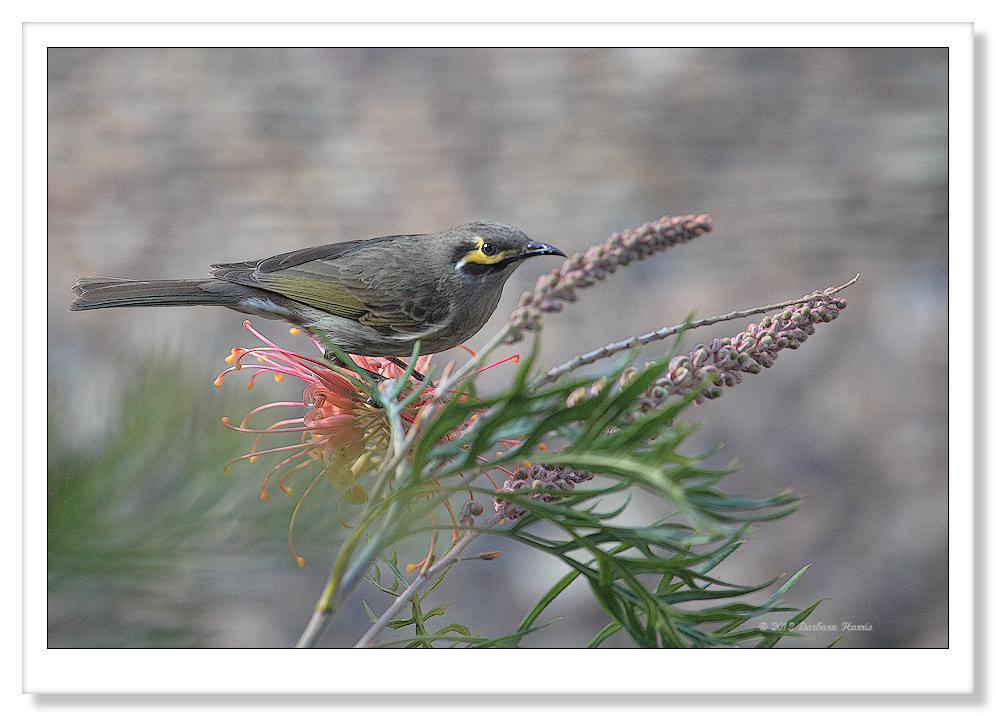 Yellow-faced Honeyeater-1912